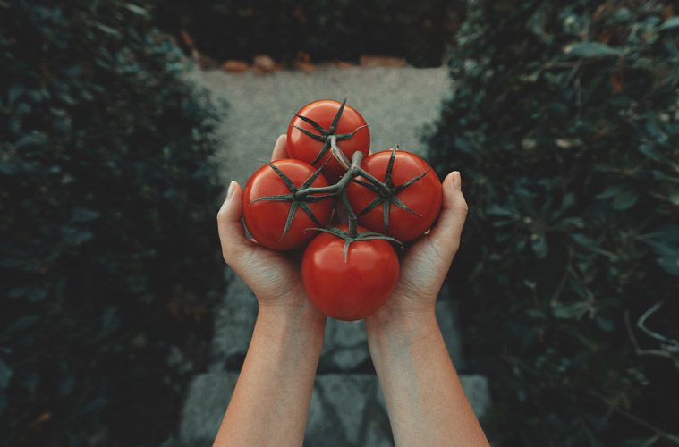 hand holding tomatoes on vine